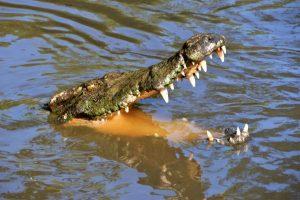 """cá sấu hoa cà, hay còn gọi là cá sấu nước mặn hoặc cá sấu cửa sông, là loài bò sát lớn nhất thế giới hiện nay. Con đực trưởng thành dài 6–7 m với trọng lượng trung bình 1.000 -1.200 kg. Con cái nhỏ hơn nhiều so với con đực, nhìn chung thì không dài quá 3 m. Chúng là những """"vận động viên bơi lội"""" rất khỏe, và là loài cá sấu hung dữ. Chúng có một cái đầu khá lớn đặc trưng bởi hai gờ nổi xuất phát từ mắt và kéo dài đến giữa mũi. Vảy loài này hình trái xoan. Chúng có thể sống hơn 100 tuổi."""