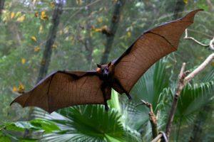 Dơi nghệ thuộc loài dơi khổng lồ được đưa vào diện cần phải bảo tồn