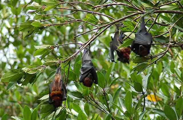 Dơi nghệ có lông vàng treo ngược trên cây khi chúng ngủ ban ngày