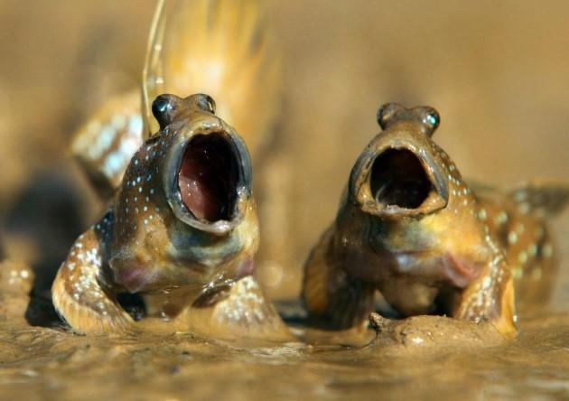Cá Thòi lòi
